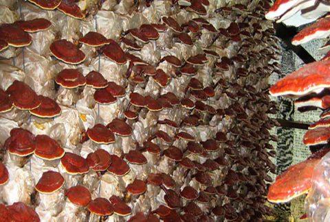 cocechas de Ganoderma